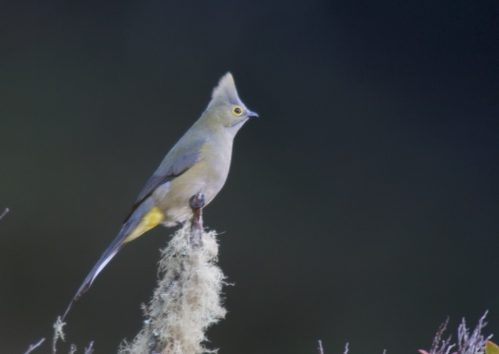Log-tailed Silky Flycatcher, using autofocus