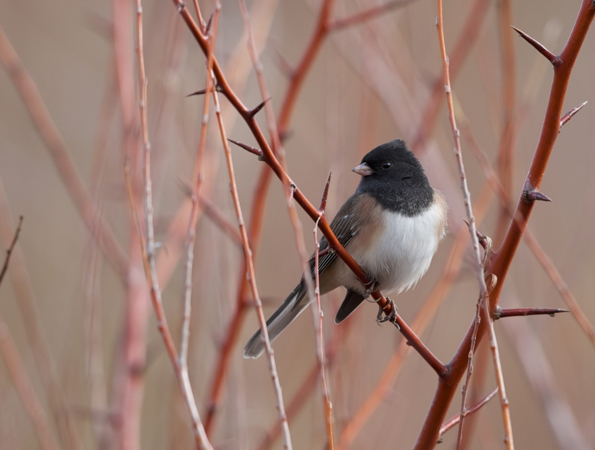 "Dark-eyed Junco, ""Oregon"" variety, Boise, Idaho"