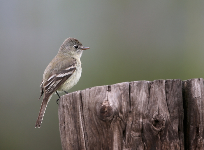 Pacific Slope Flycatcher, Pinnacles National Park, California