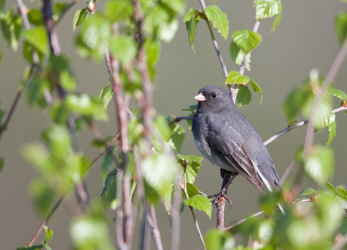 "Dark-eyed Junco, ""Slate-colored"" variety, Fairbanks, Alaska"