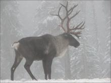 Mountain Caribou Buck, South Selkirk Range. Photo: Steve Forrest/USFWS