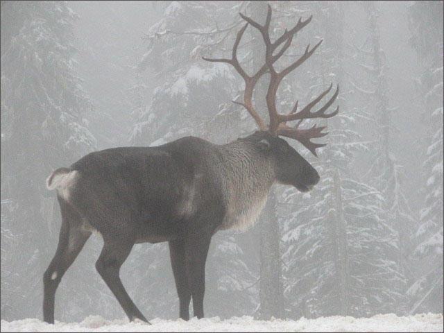 Mountain Caribou Buck, South Selkirk Range. Photo: Steve Forrest/USFWS