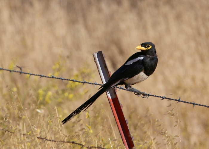 Yellow-billed Magpie, Pinnacles National Park, California