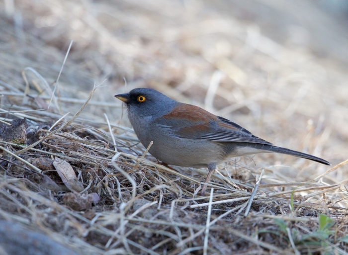 Yellow-eyed Junco, Madera Canyon, Arizona