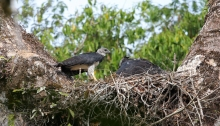 Harpy Eagles, Male on left, dark morph female on right, Darien National Park, Darien Privince, Panama