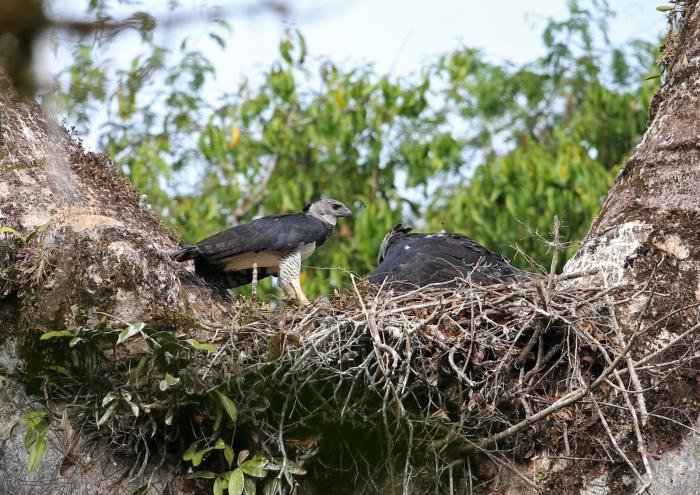 Harpy Eagles, Male on left, dark morph female on right, Darien National Park, Darien Privince, Panama