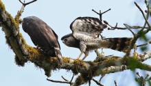 Crested Eagles, Female to Left, Male to Right, Darien Province, Panama