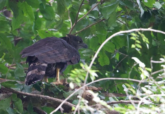 Crested Eagle Female, Darien Province, Panama