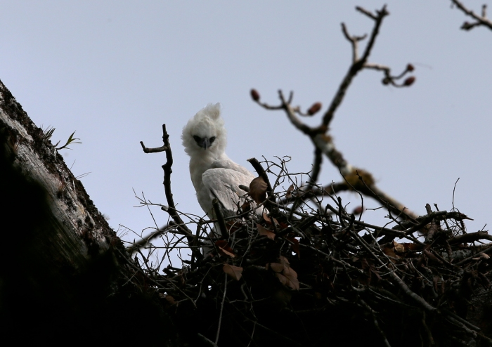 Crested Eagle Chick, Darien Province, Panama