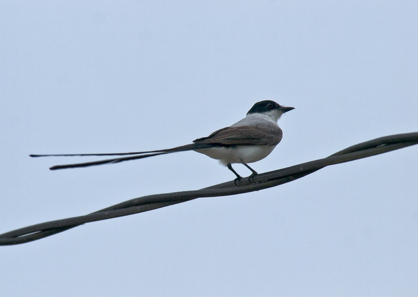 Fork-tailed Flycatcher, Oaxaca, Mexico