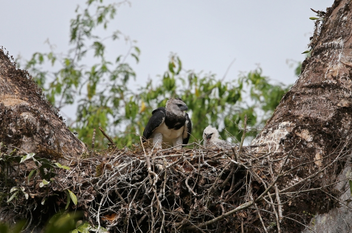 Harpy Eagle Nest. Mom on the left; the chick in natal down on the right.