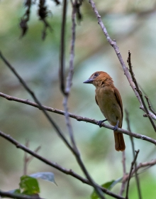 Female One-colored Becard, Darién Province, Panama