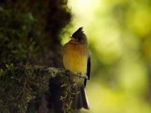 Tufted Flycatcher, Costa Rica