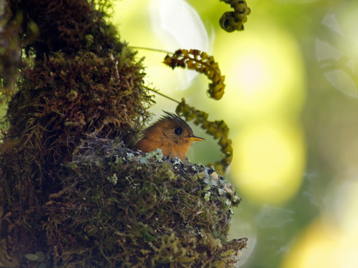 Tufted Flycatcher on Nest, Costa Rica