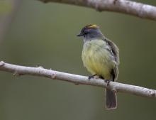 Yellow-crowned Tyrannulet, Darien Province, Panama