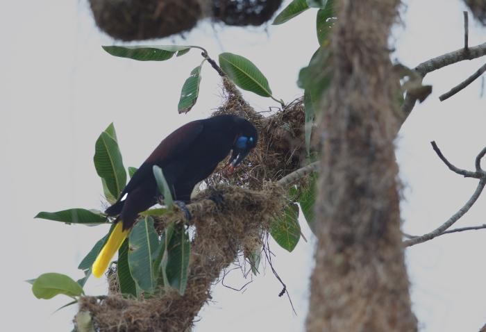 Black Oropendola, Darièn Province, Panama