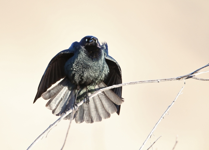 Brewer's Blackbird Courtship Display, Malheur National Wildlife Refuge, Oregon