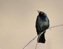 Brewer's Blackbird, Malheur National Wildlife Refuge, Oregon