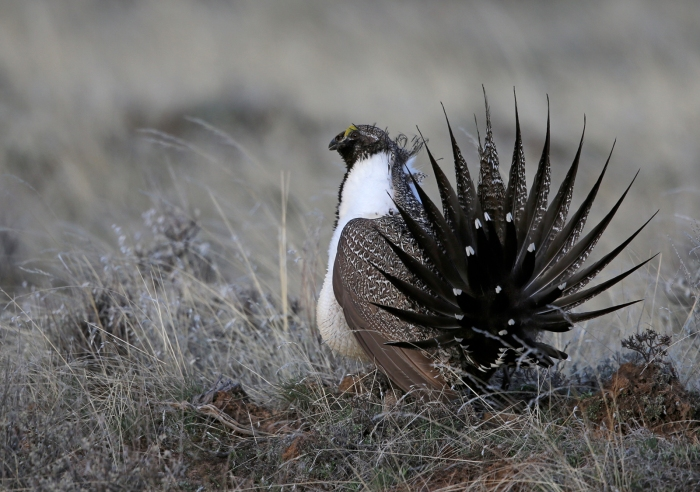 Greater Sage Grouse, Bennett Mountains, Idaho
