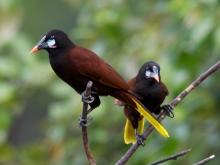 Montezuma's Oropendola, Costa Rica