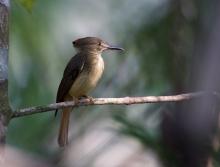 Royal Flycatcher, Darièn Province, Panama