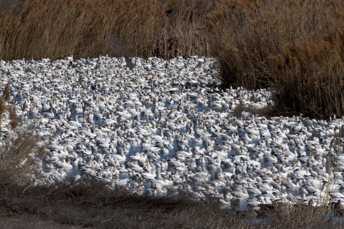 A portion of a flock of Snow Geese at Fort Boise WMA