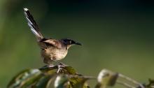 Black-capped Donacobius, Eastern Peru