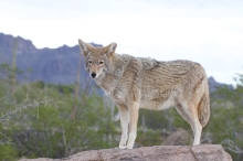 Coyote, SE Arizona