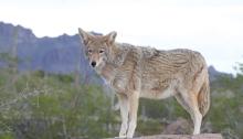 Coyote, SE Arizona