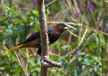 Crested Oropendola, Peru