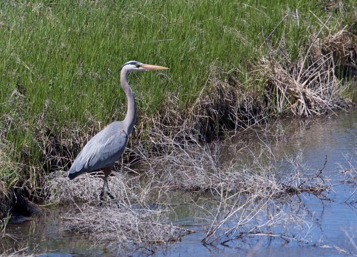 Great Blue Heron, Camas Prairie, Idaho