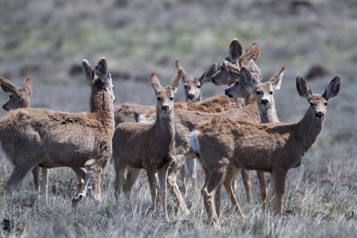 Mule Deer, Hill City Road, Idaho