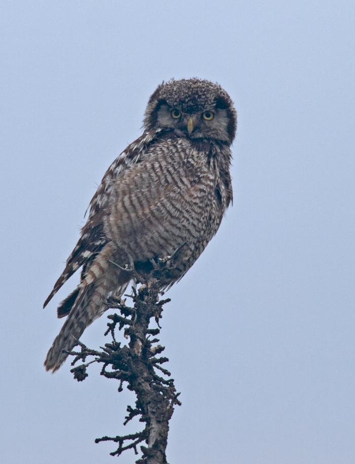 Northern Hawk Owl, Sawmill Road, Alaska
