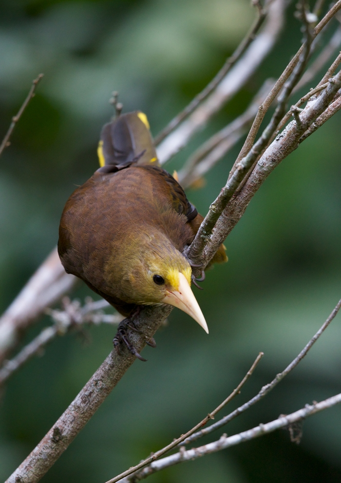 Russet-backed Oropendola, East Slope of Andes, Peru