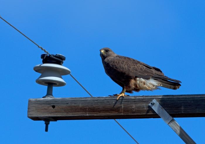Swainson's Hawk, Camas Prairie, Idaho
