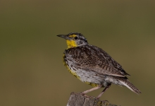 Western Meadowlark, Birds of Prey National Conservation Area, Idaho
