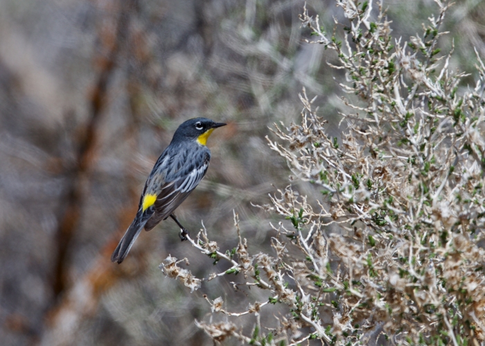 Yellow-rumped Warbler, Page Spring Campground, Oregon