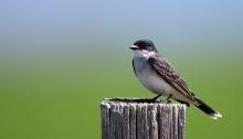 Eastern Kingbird, Camas Prairie, Idaho