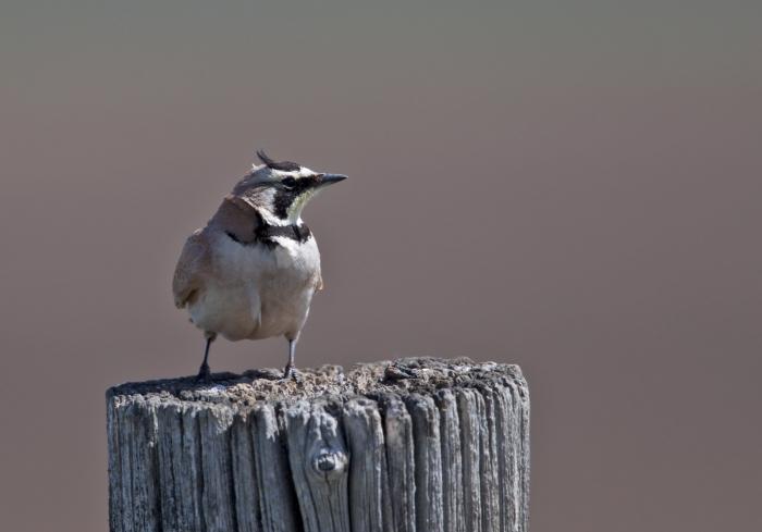 Horned Lark, Camas Prairie, Idaho