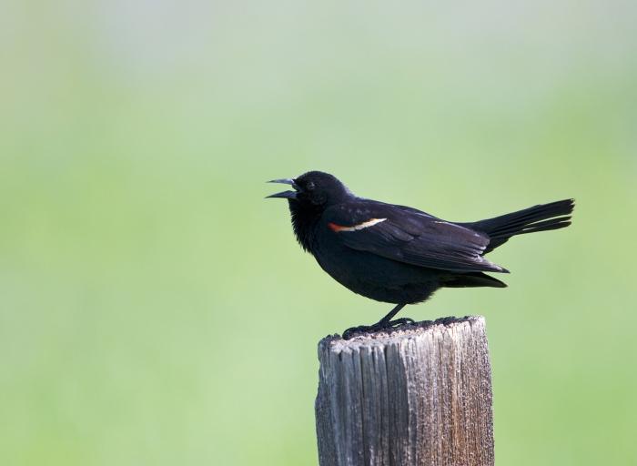 Red-winged Blackbird Male, Camas Prairie, Idaho