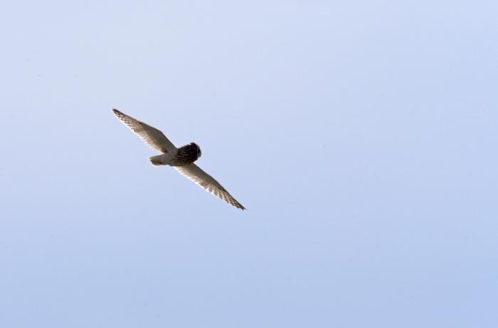 Short-eared Owl, Camas Prairie, Idaho