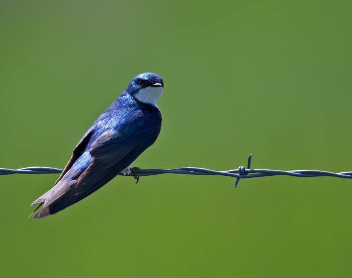 Tree Swallow, Camas Prairie, Idaho