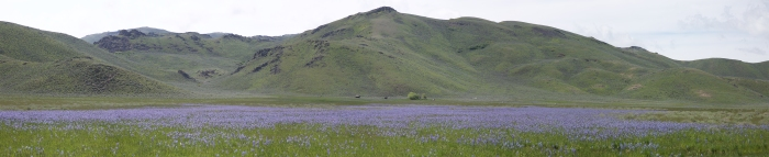 Camas Lilies at base of Bennett Mountains, May 28, 2019 (six images processed to a panorama shot)