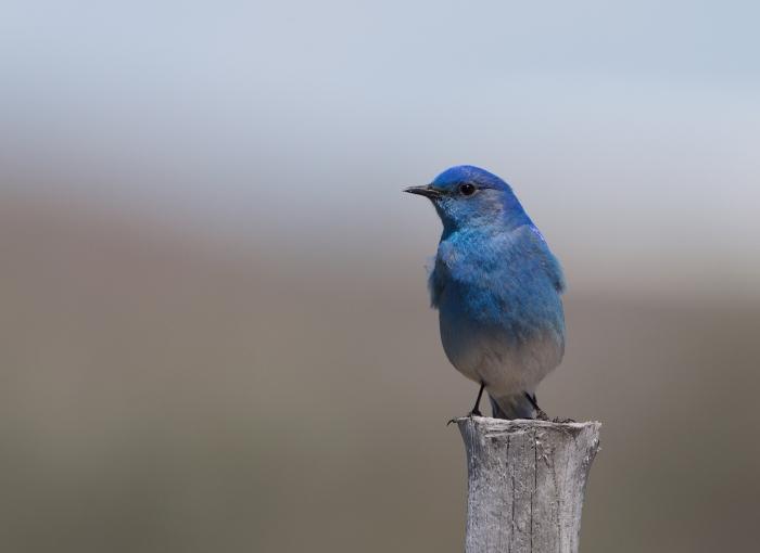 Mountain Bluebird, Camas Prairie, Idaho