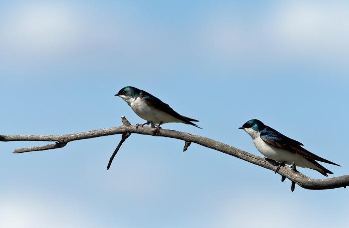 Tree Swallows, Camas Prairie, Idaho