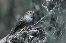 Brewer's Sparrow, Camas Prairie, Idaho