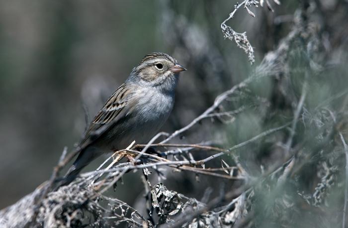 Brewer's Sparrow, Camas Prairie, Idaho