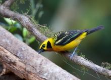 Golden Tanager. Peru