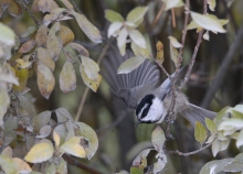 Mountain Chickadee, West Mountain, Valley County, Idaho