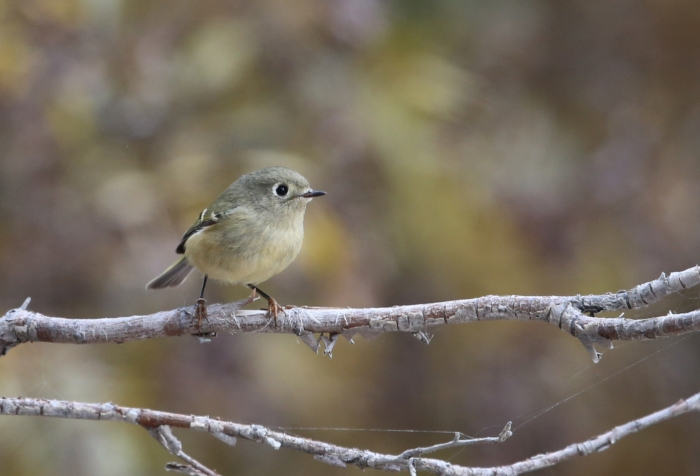 Ruby-crowned Kinglet, West Mountain, Valley County, Idaho